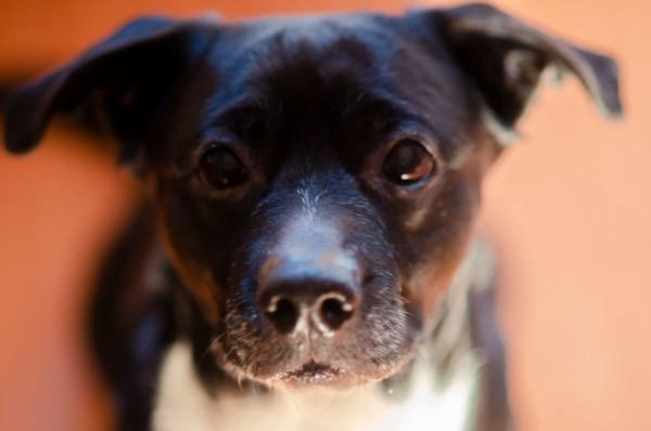 fotograf psów łódź sesja psa w pomieszczeniu pokazujący jego głowę