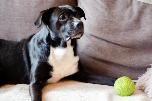 fotograf psów łódź sesja psa pies z piłką leży na kanapie
