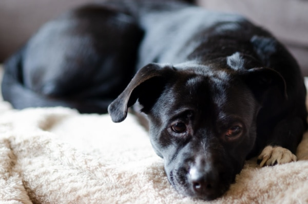 fotograf psów łódź sesja psa pies leży na kanapie i ma opuszczoną mordkę