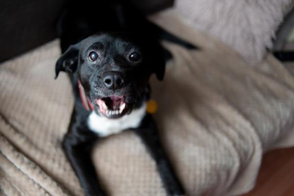 fotograf psów łódź sesja psa pies na kanapie szczeka i patrzy w górę