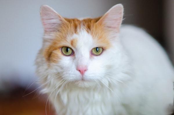 fotograf kotów łódź siedzący biało rudy kot wpatrzony w obiektyw