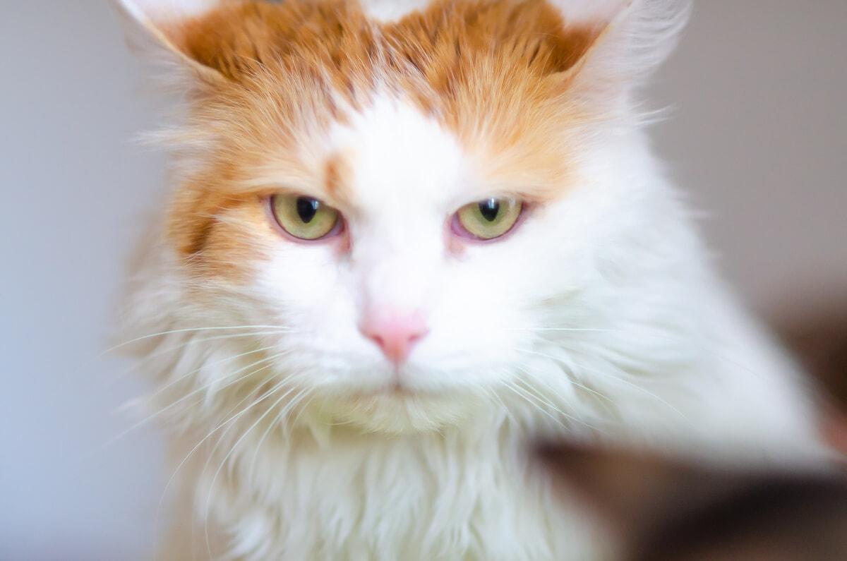 fotograf kotów łódź kot biało rudy groźnie spoglądający