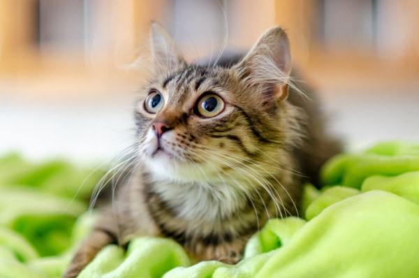 fotograf kotów łódź kot spoglądający w górę na tle szafek kuchennych
