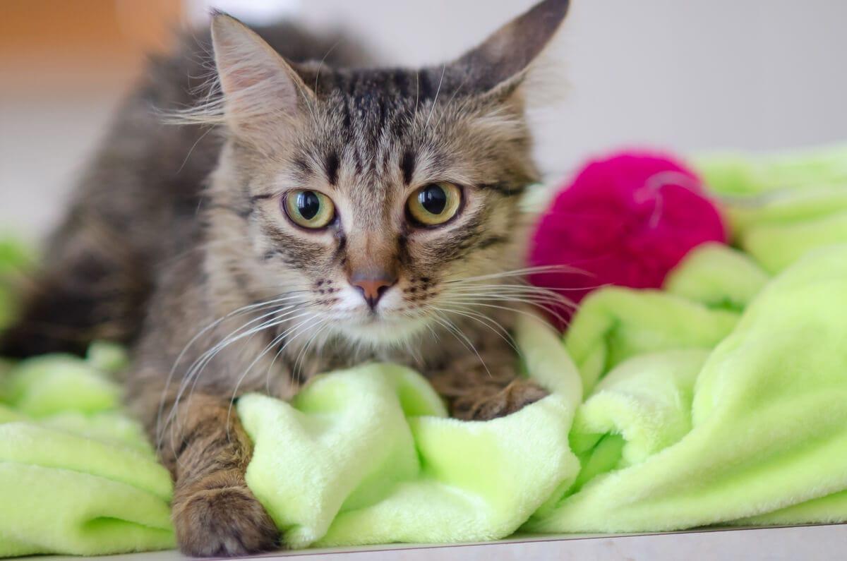 fotograf kotów łódź sesja kota domowa na kocyku z piłeczką
