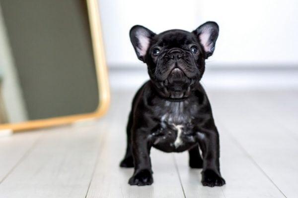 fotografia psów rasowych łódź budlog francuski czarny z białą krawatką patrzy przed siebie