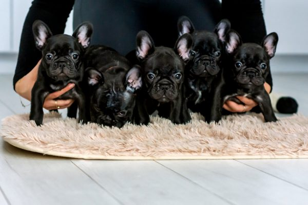 fotografia psów rasowych łódź budlog francuski pięć szczeniaków objętych ramionami