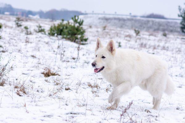 zimowa sesja biały owczarek szwajcarski przyczajony pies skrada się