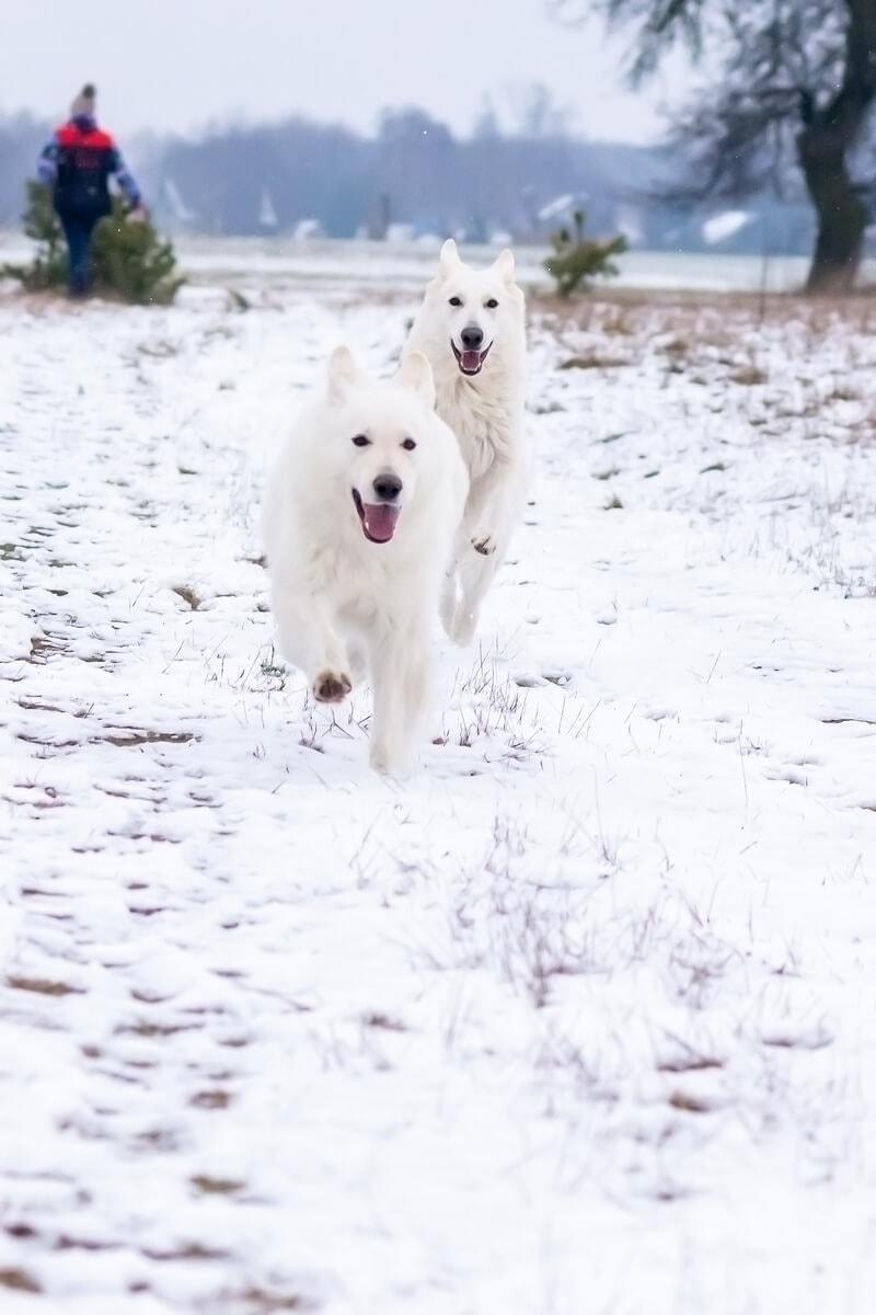 zimowa sesja biały owczarek szwajcarski dwa psy biegną jeden za drugim po sńiegu