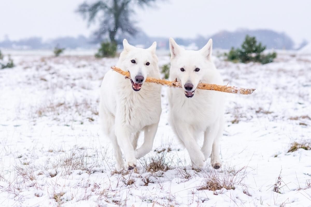 zimowa sesja biały owczarek szwajcarski dwa psy biegną po śniegu trzymając jeden patyk w pysku