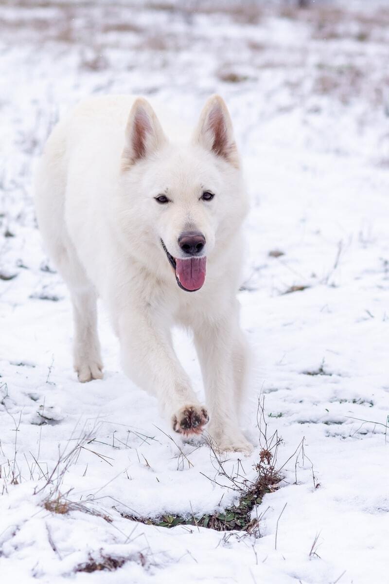 zimowa sesja biały owczarek szwajcarski biegnie i wyciąga łapę do przodu