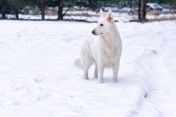 zimowa sesja biały owczarek szwajcarski stoi na śniegu i patrzy w bok