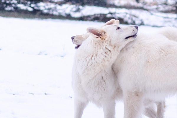 zimowa sesja biały owczarek szwajcarski dwa psy przytulają się kładac głowy na grzebietach