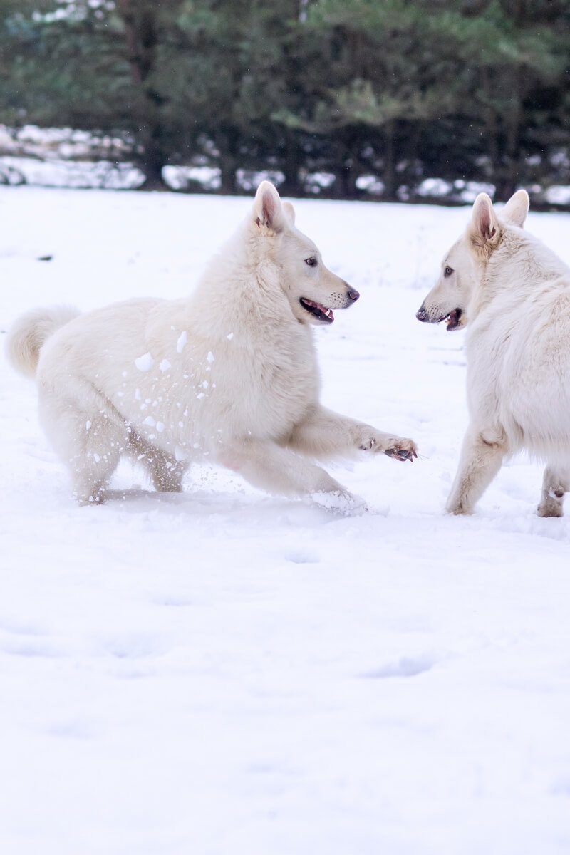 zimowa sesja biały owczarek szwajcarski dwa psy bawią się na śniegu