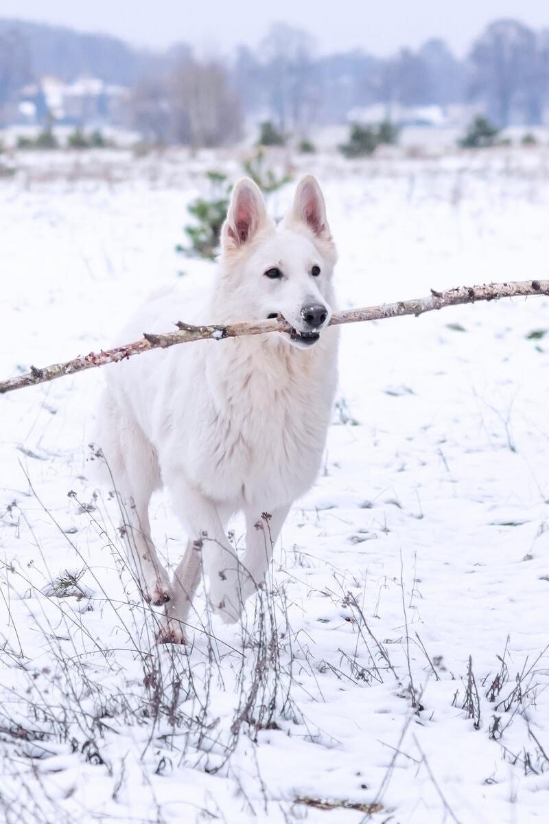 zimowa sesja biały owczarek szwajcarski biegnie z kijem w pysku po śniegu