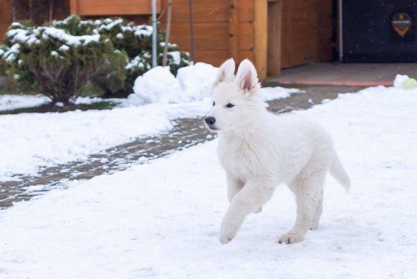 zimowa sesja biały owczarek szwajcarski szczeniak złapany w biegu