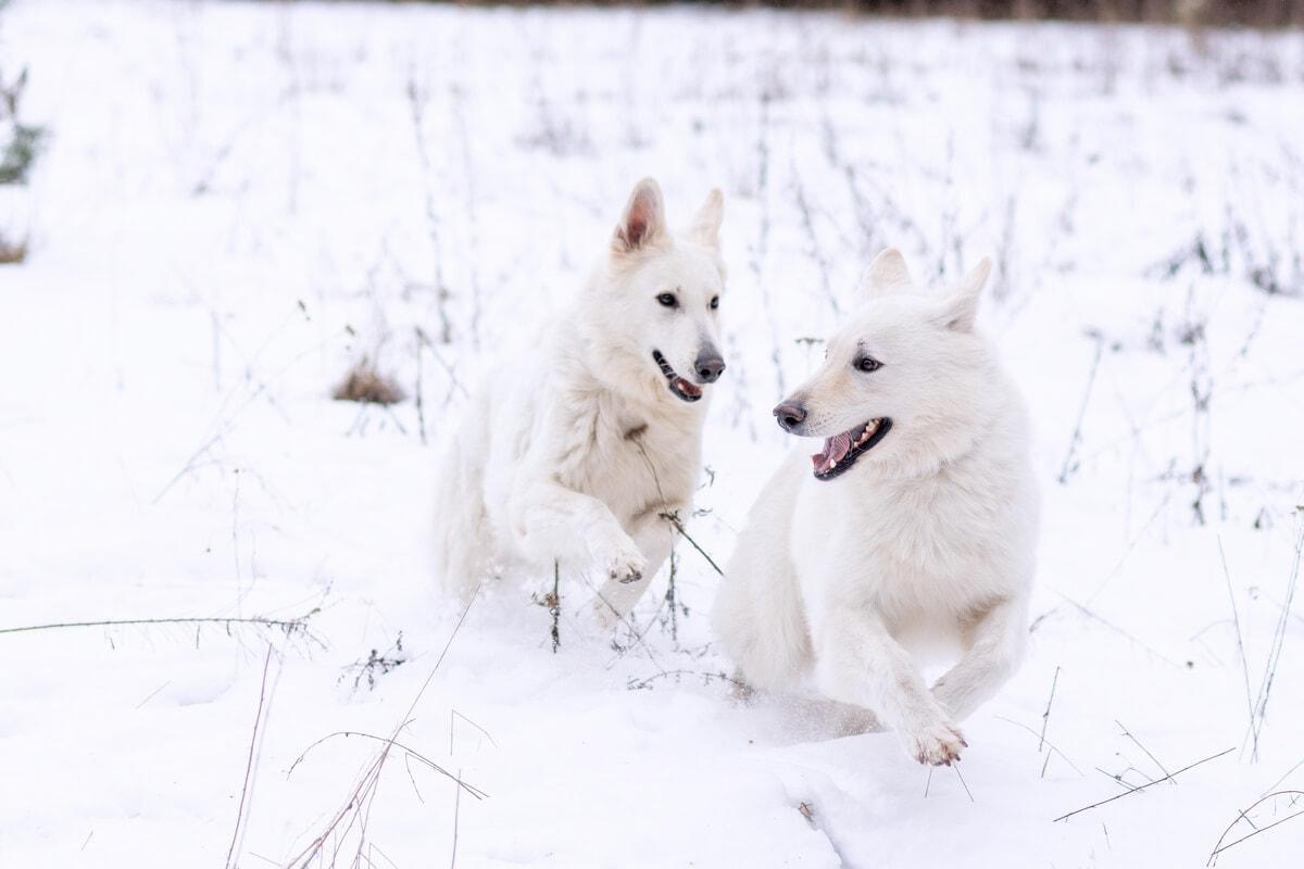 zimowa sesja biały owczarek szwajcarski dwa dorosłe psy gonią się na śniegu