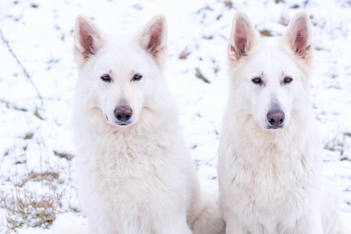 zimowa sesja biały owczarek szwajcarski para siedzą obok siebie i patrzą do przodu