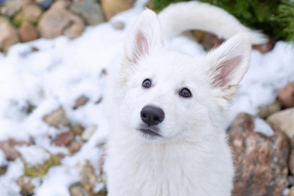 zimowa sesja biały owczarek szwajcarski szczeniak na kamykach