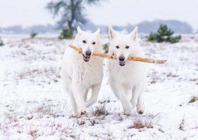 Zimowa sesja z psami